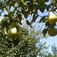 Jesen stiže dunjo moja… jabuko, kruško, papriko…